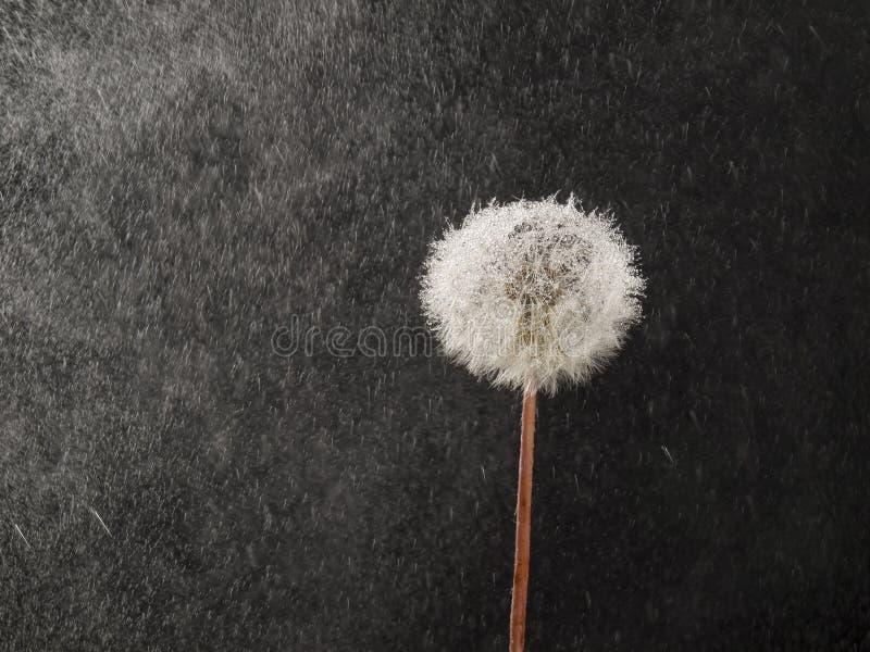 Pissenlit sous la pluie image stock