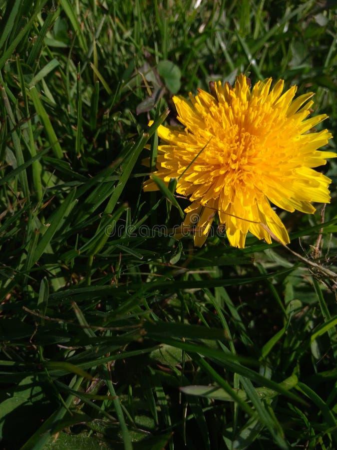 Pissenlit sur l'herbe images libres de droits