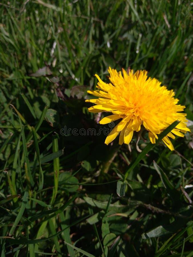 Pissenlit sur l'herbe photo stock