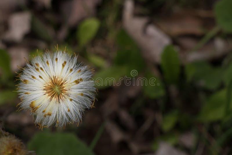 Pissenlit sur la pelouse allée pour semer image stock