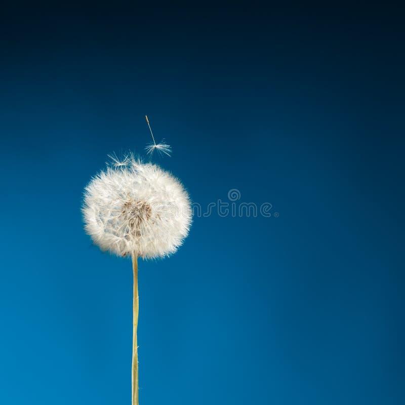 Pissenlit sur le bleu photographie stock