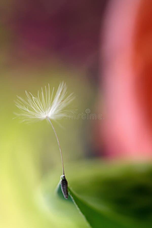 Pissenlits au printemps. instruction-macro images libres de droits