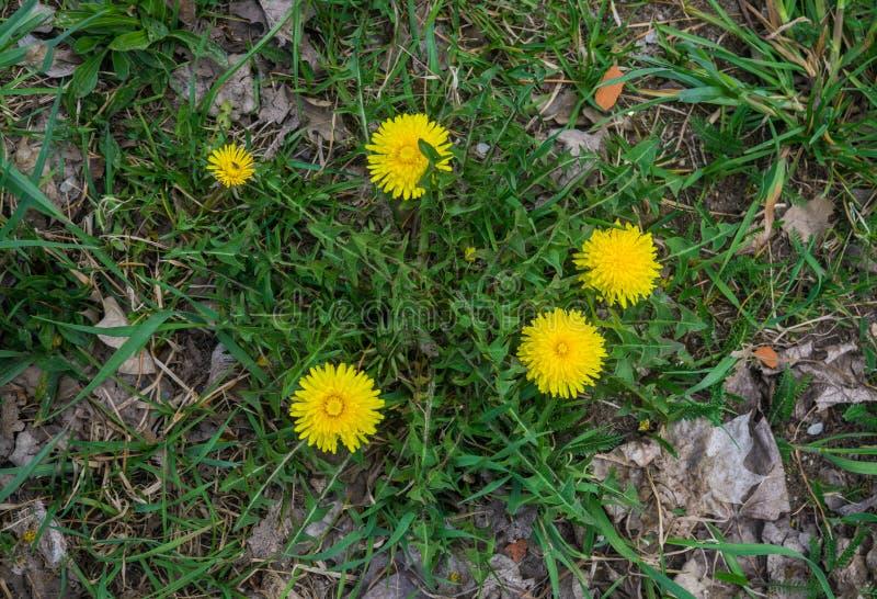 Pissenlits au printemps un jour ensoleillé Plan rapproch? fleurissant de pissenlits photo libre de droits