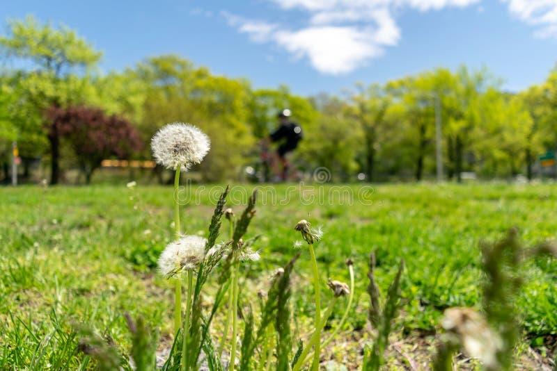 Pissenlits avec l'abondance des graines, se tenant dans un pré d'herbe verte luxuriante, une belle et ensoleillée journée de prin photos libres de droits