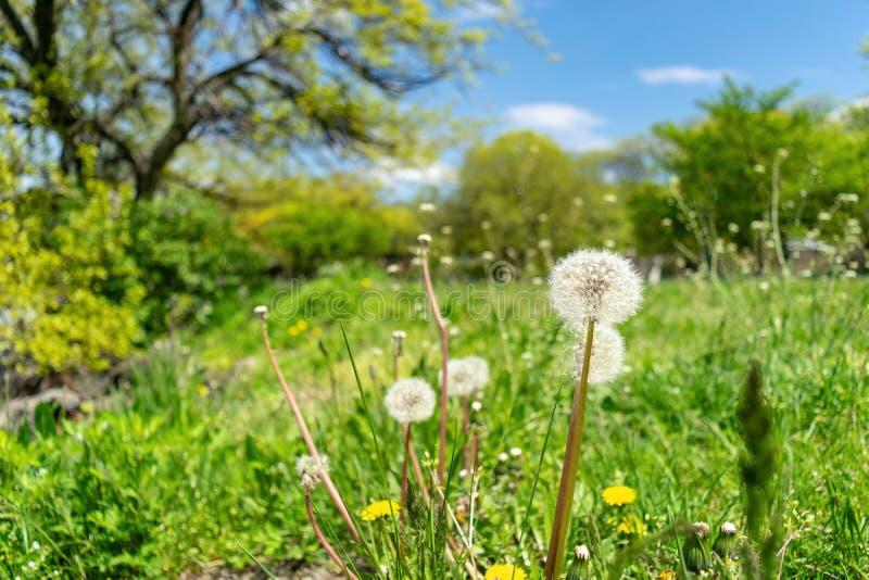 Pissenlits avec l'abondance des graines, se tenant dans un pré d'herbe verte luxuriante, une belle et ensoleillée journée de prin images libres de droits