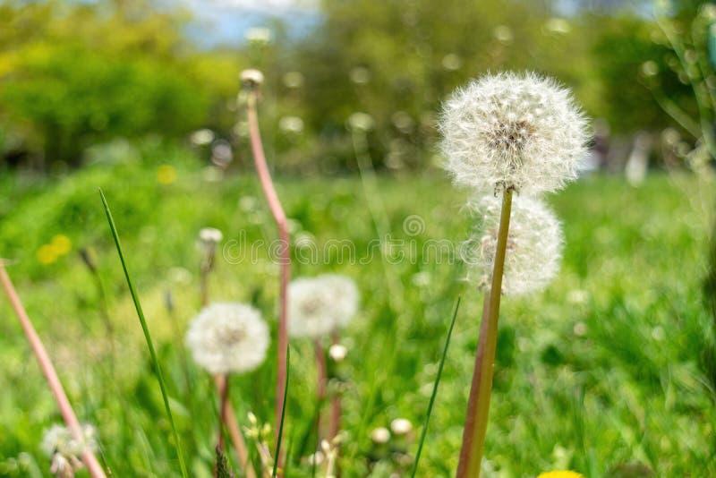 Pissenlits avec l'abondance des graines, se tenant dans un pré d'herbe verte luxuriante, une belle et ensoleillée journée de prin photos stock