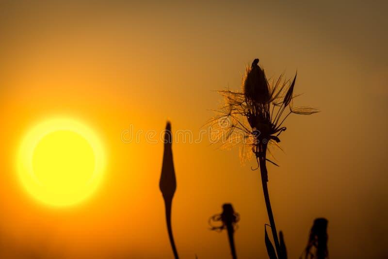 Pissenlits contre le coucher du soleil photographie stock libre de droits