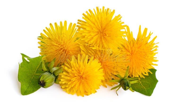 Pissenlits d'isolement sur le fond blanc Officinale jaune de floraison de Taraxacum de pissenlit photo stock