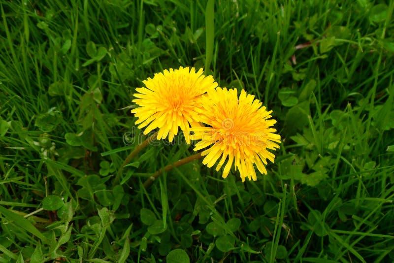 Pissenlits dans l'herbe images libres de droits