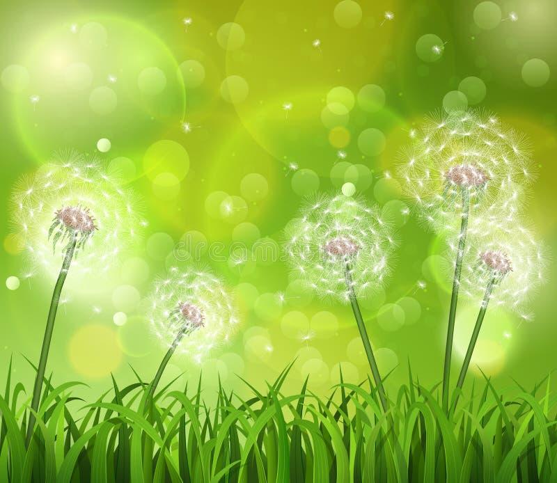 Pissenlits dans l'herbe sur un fond vert images stock