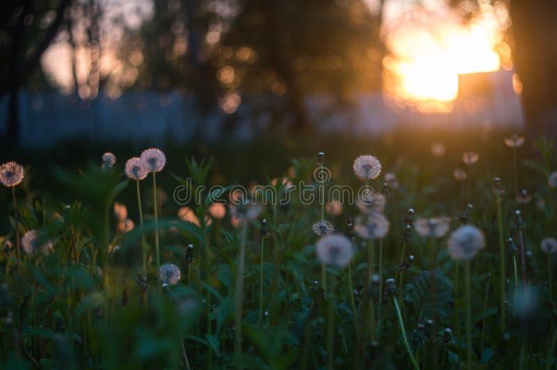 Pissenlits dans le coucher du soleil photos libres de droits