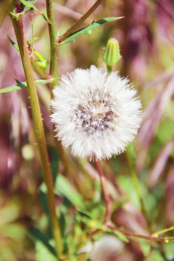 Pissenlits de fleurs d'été d'automne sur un fond vert de nature photos stock