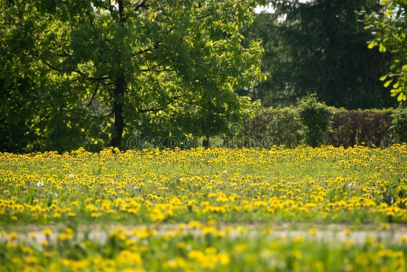 Pissenlits de floraison images libres de droits