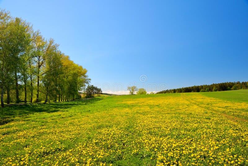 Pissenlits de floraison sur le pré photographie stock libre de droits