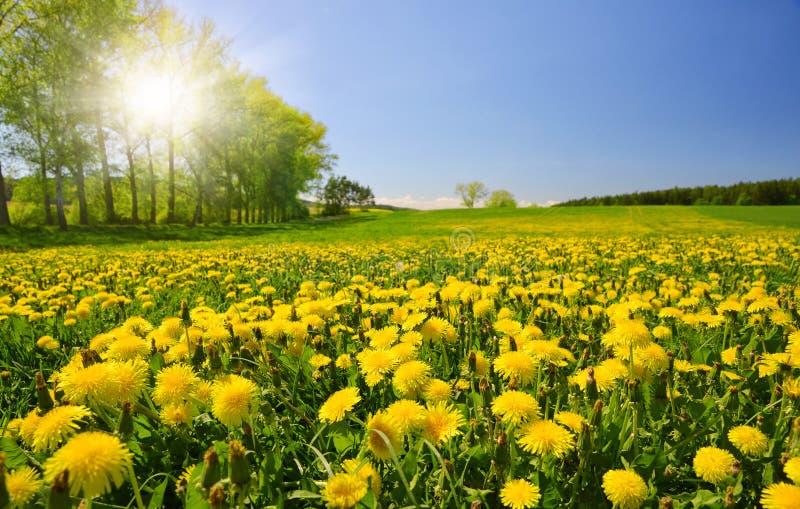 Pissenlits de floraison sur le pré images libres de droits