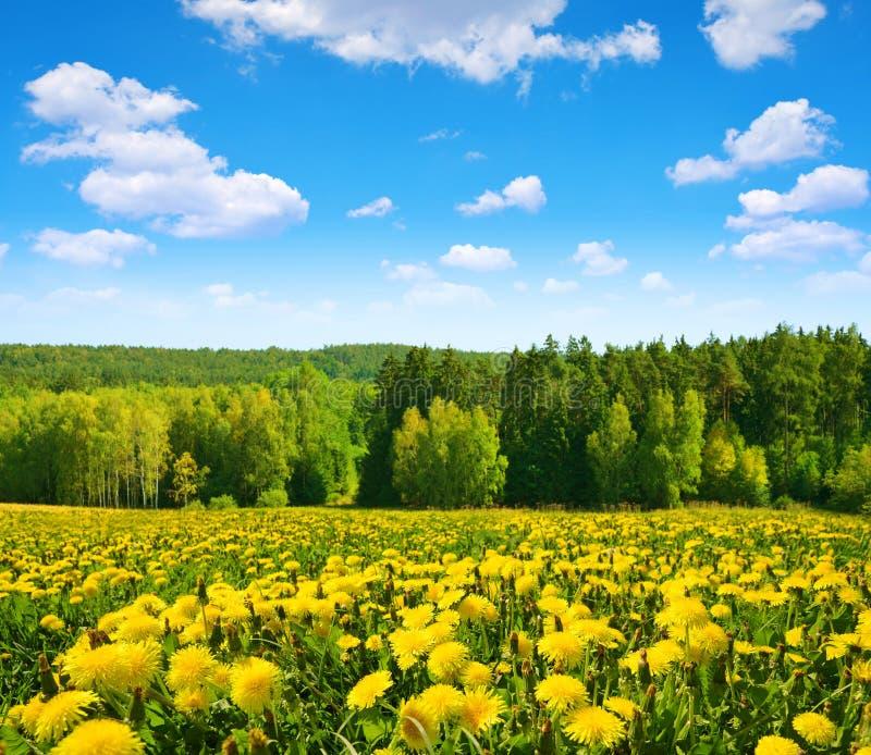 Pissenlits de floraison sur le pr? image stock