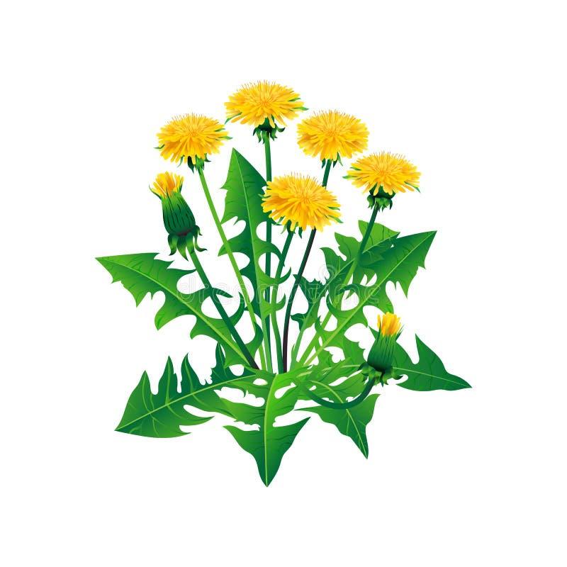 Pissenlits de vecteur d'isolement Pissenlits jaunes réalistes sur un fond blanc illustration de vecteur