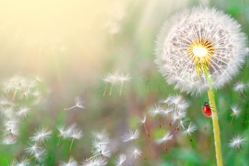 pissenlits en gros plan sur la nature au printemps contre le contexte de l'été Le vent souffle les graines parties des pissenlits images libres de droits