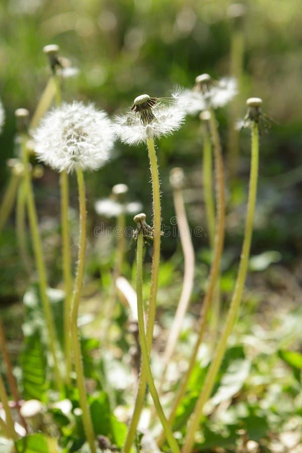 Pissenlits et mauvaises herbes au printemps photos stock