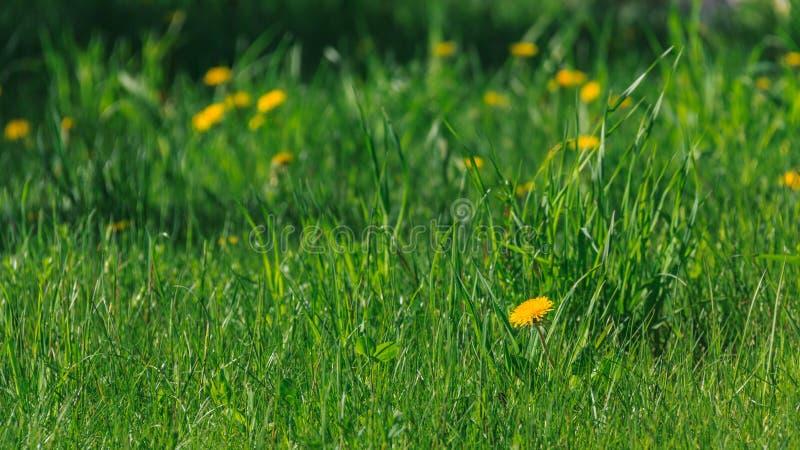 Pissenlits fleurissants photos stock