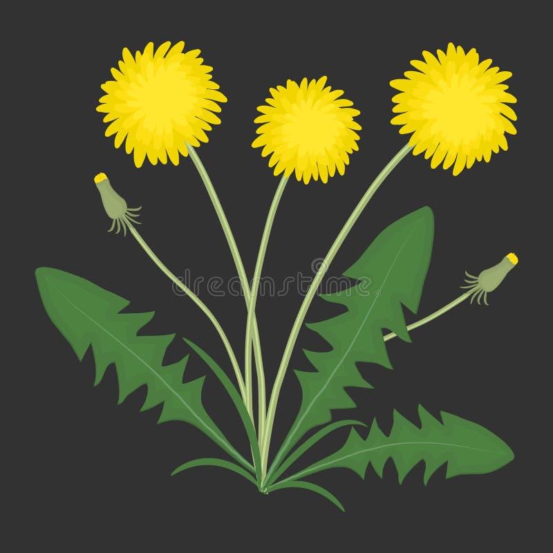 Pissenlits jaunes avec les feuilles vertes sur un fond noir illustration stock