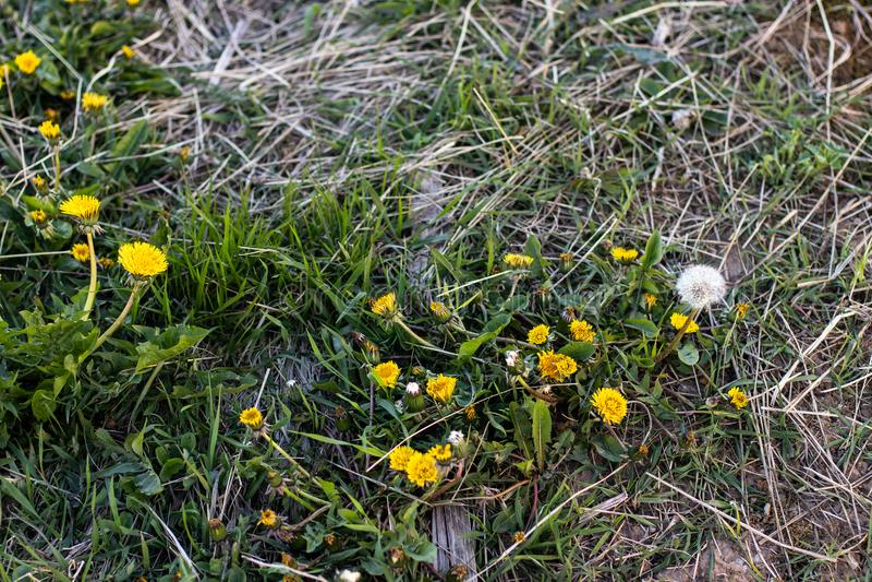 Pissenlits jaunes dans l'herbe photos libres de droits