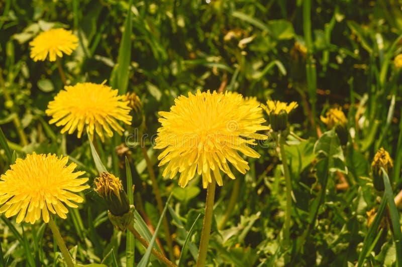 Pissenlits jaunes parmi l'herbe verte Fermez-vous vers le haut de la vue image stock