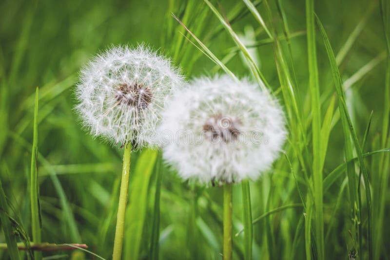 Pissenlits sur l'herbe de fond images stock