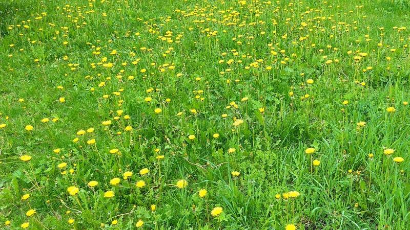 Pissenlits sur l'herbe photographie stock libre de droits
