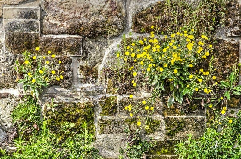 Pissenlits sur un mur de quai image libre de droits