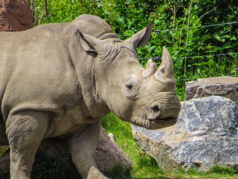 Pista blanca del rinoceronte imagenes de archivo