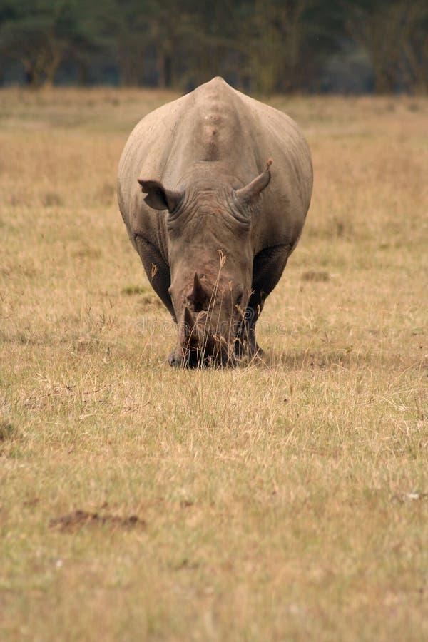 Pista Blanca Del Rinoceronte Encendido Imagen de archivo