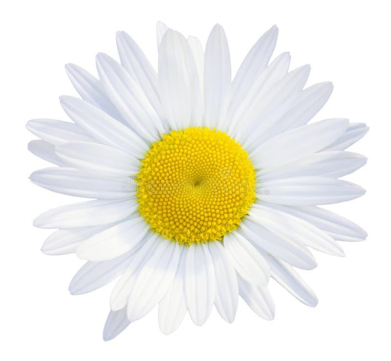Pista de flor de las margaritas fotografía de archivo