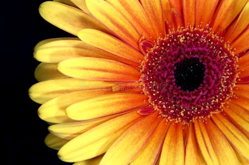 Pista de flor del Gerbera imagen de archivo