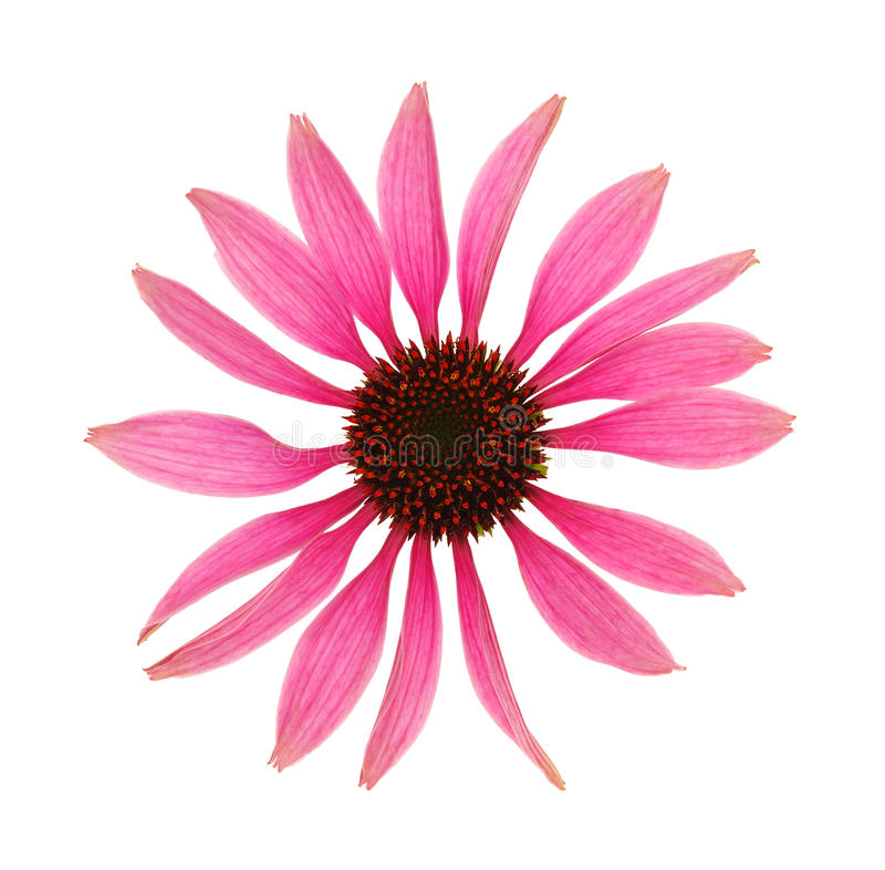 Pista de flor del purpurea del Echinacea aislada en blanco fotos de archivo libres de regalías
