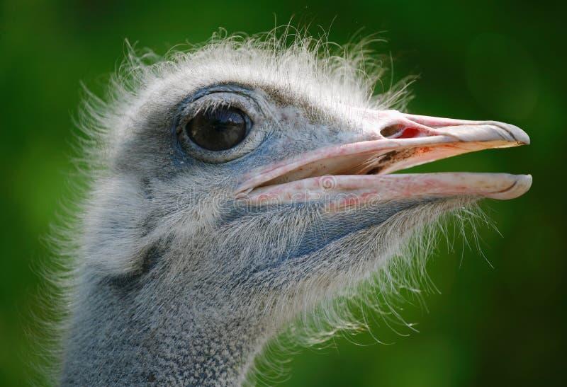Pista de la avestruz imagenes de archivo