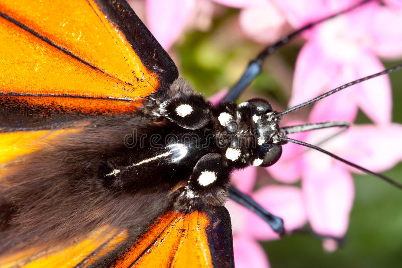 Pista de la mariposa de monarca y primer del tórax imagen de archivo