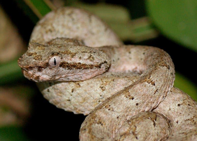 Pista de la víbora de hueco de la pestaña, schlegelii de Bothriechis foto de archivo