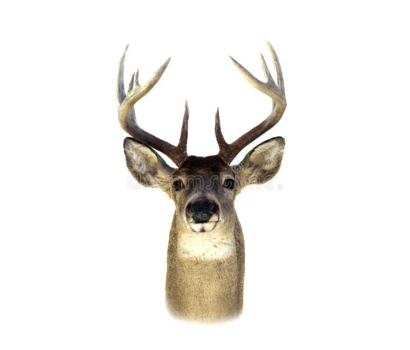 Pista de los ciervos de Whitetail aislada fotografía de archivo