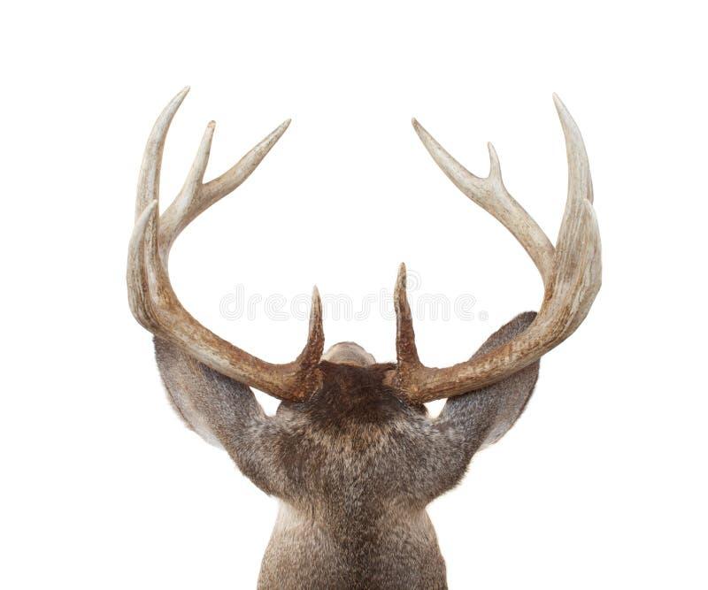 Pista de los ciervos de Whitetail de antedicho y detrás imagen de archivo