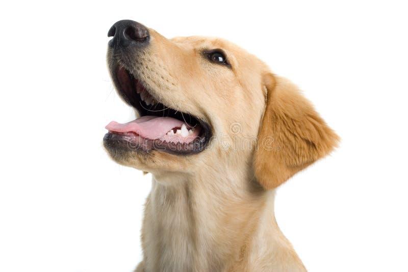 Pista de perro del jadeo fotografía de archivo