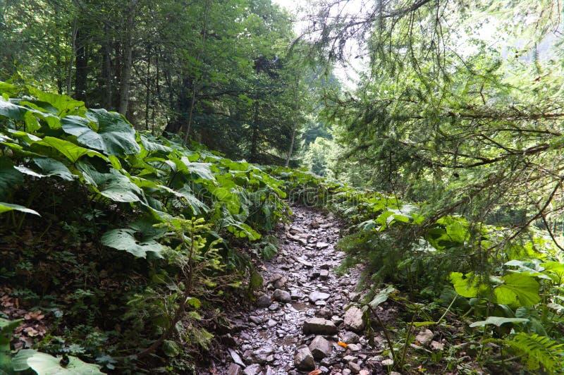 Pista de senderismo en bosque verde del verano con sol, después de la lluvia foto de archivo