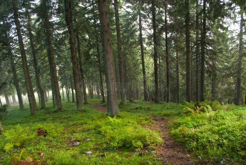 Pista de senderismo en el bosque del pino fotografía de archivo