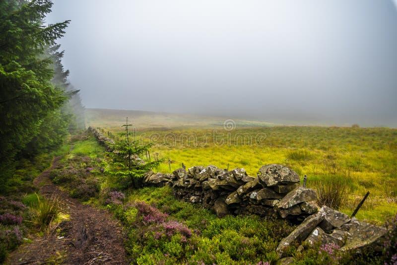 Pista de senderismo estrecha a través de Misty Conifer Forest y de Heather Flowers en Escocia fotografía de archivo