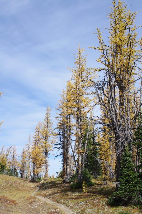 Pista de senderismo por los alerces alpinos imagen de archivo libre de regalías