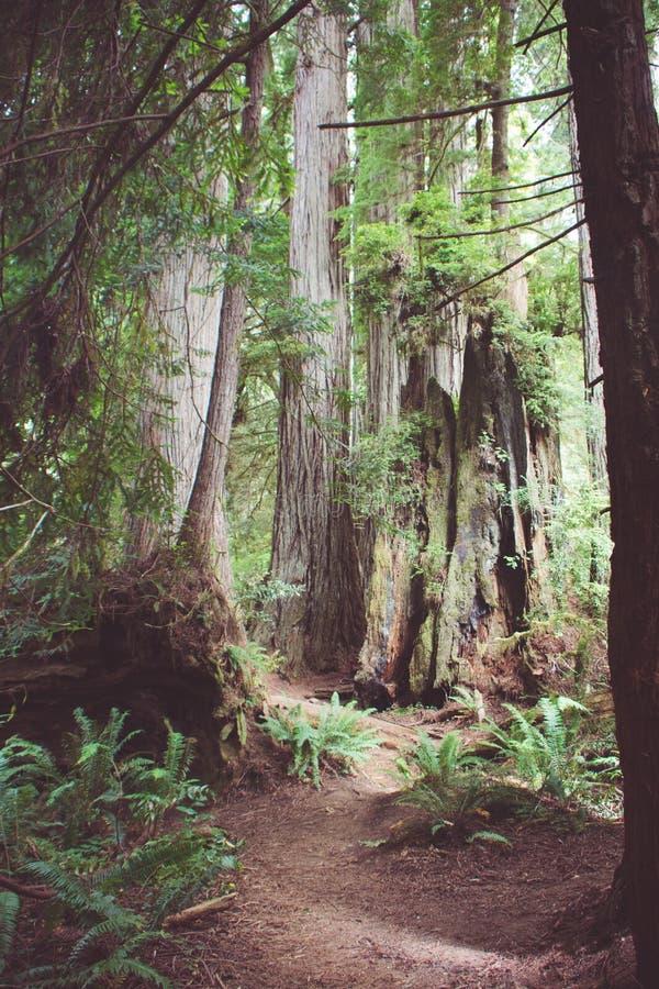 Pista de senderismo a través del bosque del viejo crecimiento en parque nacional de la secoya en California imagen de archivo libre de regalías