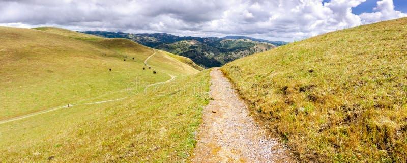 Pista de senderismo a través de las colinas de la área de la Bahía de San Francisco del sur; ganado que pasta en las laderas; San imagenes de archivo