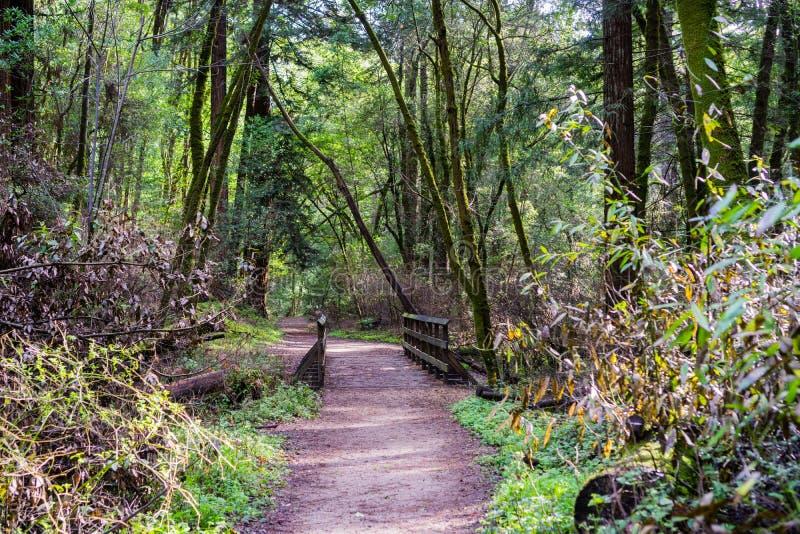 Pista de senderismo a través de los bosques de Henry Cowell State Park, montañas de Santa Cruz, área de la Bahía de San Francisco imagen de archivo
