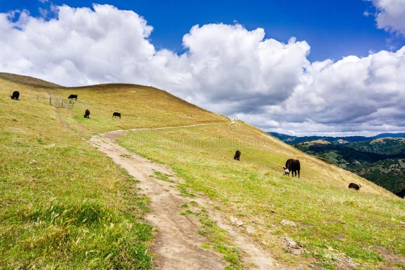 Pista de senderismo a trav?s de las colinas de la ?rea de la Bah?a de San Francisco del sur; ganado que pasta en las laderas; San foto de archivo