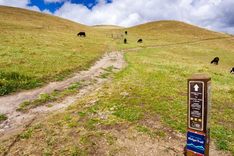Pista de senderismo a trav?s de las colinas de la ?rea de la Bah?a de San Francisco del sur; ganado que pasta en las laderas; San fotografía de archivo libre de regalías